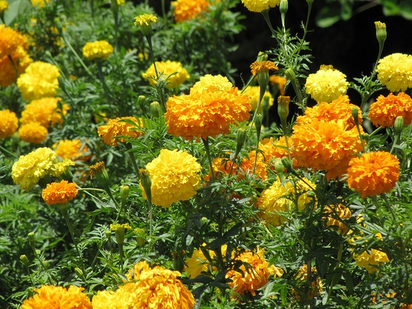 flor de muerto