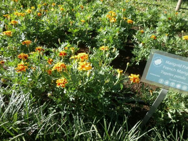 marigold frances